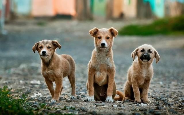 adn-canino-myadnlab-cachorros