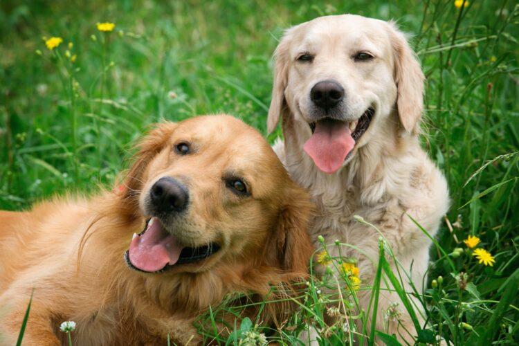 descendencia del perro